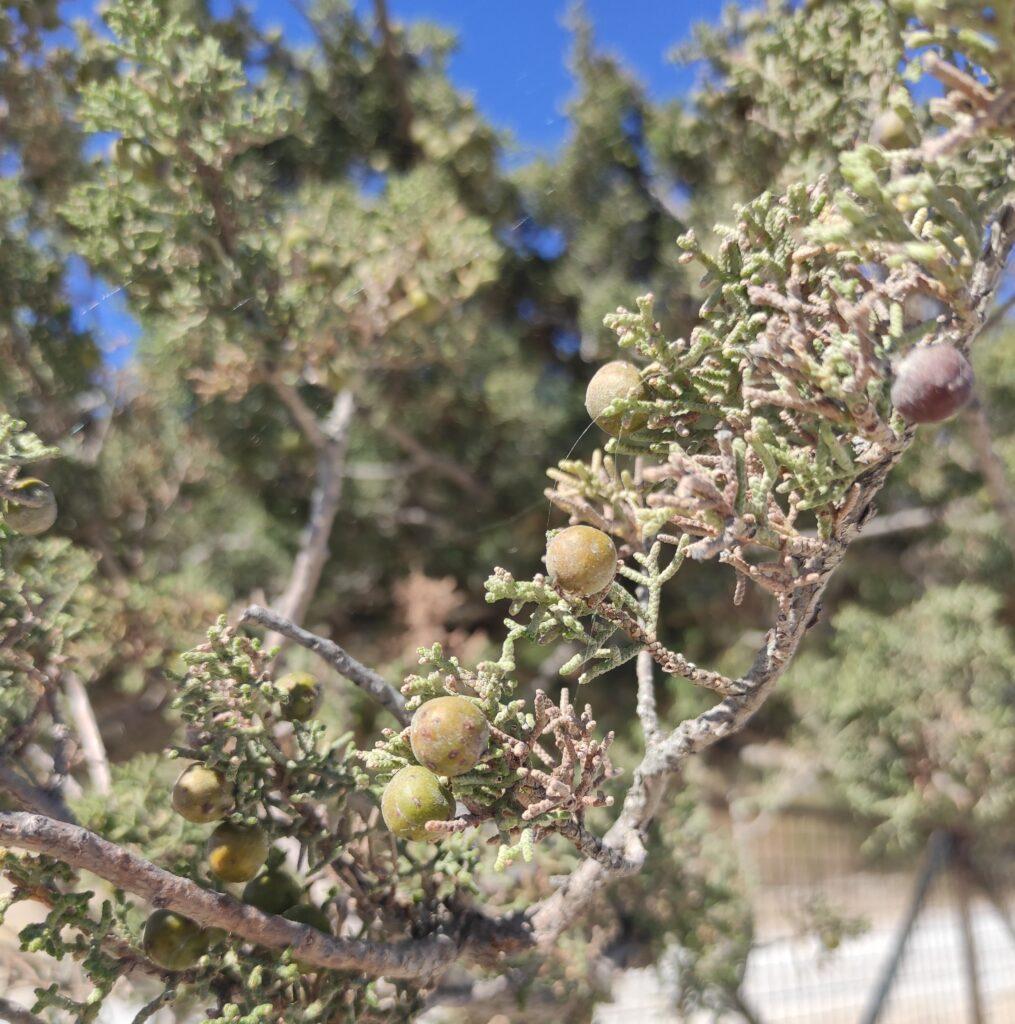 Askelinos plant karpathos